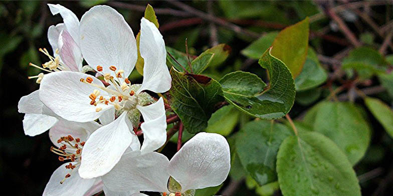 European crab apple – description, flowering period. flowering plant, flowers on a branch