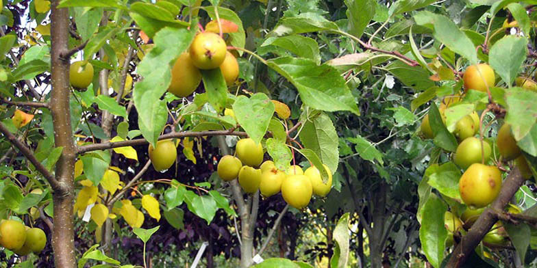 European crab apple – description, flowering period. ripened fruits on a tree