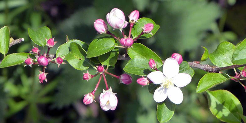 European crab apple – description, flowering period. the beginning of the dissolution of flowers