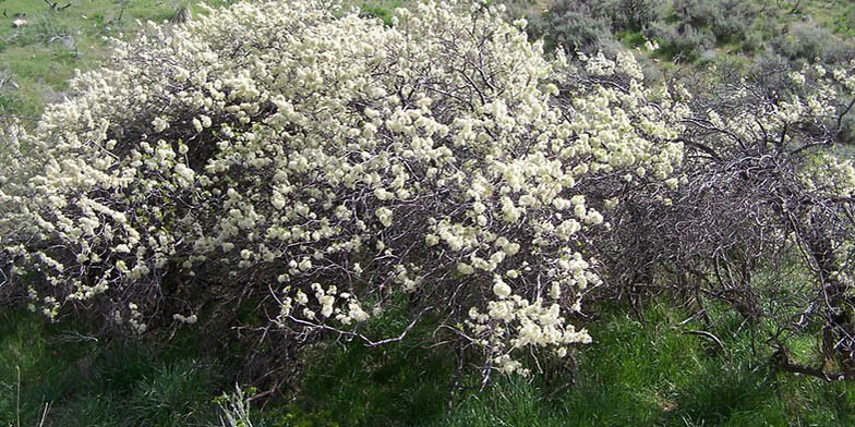 River plum – description, flowering period and general distribution in New Mexico. Flowering shrub