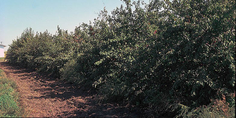 River plum – description, flowering period and general distribution in New Mexico. Growing array of small trees