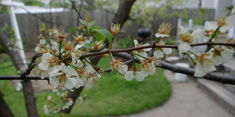 River plum – description, flowering period and general distribution in New Mexico. The branch is blooming
