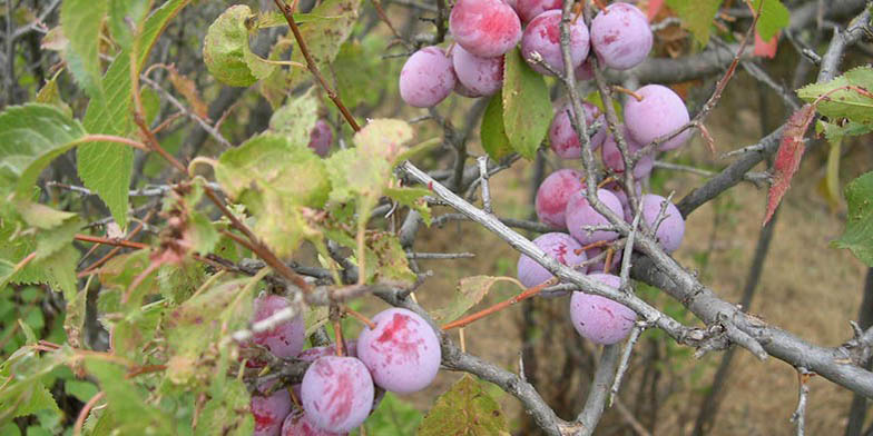 River plum – description, flowering period and general distribution in New Mexico. Fruit on a branch