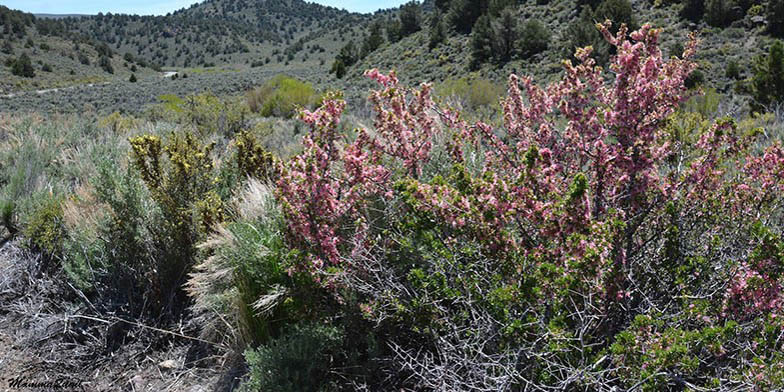 Anderson peachbush – description, flowering period. Flowering shrub in the desert