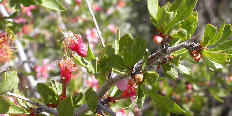 Anderson peachbush – description, flowering period. Branch with green leaves, buds and young flowers