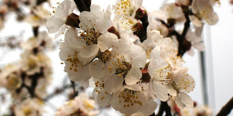 Prunus armeniaca – description, flowering period. flowering apricot branch