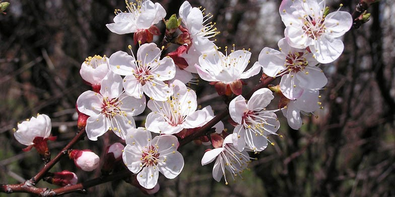 Prunus armeniaca – description, flowering period. soft pink fragrant flowers