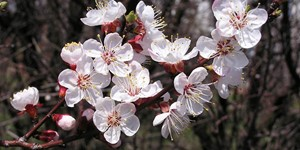 Prunus armeniaca – description, flowering period and time in Montana, soft pink fragrant flowers.