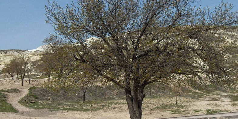 Prunus armeniaca – description, flowering period. apricot tree (Turkey)
