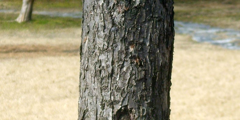 Prunus armeniaca – description, flowering period. apricot tree trunk