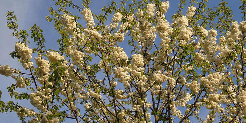 Tart cherry – description, flowering period and general distribution in Georgia. branches with buds on a background of blue sky.