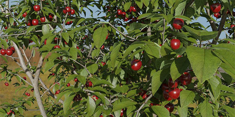 Tart cherry – description, flowering period and general distribution in Quebec. trees with ripe berries
