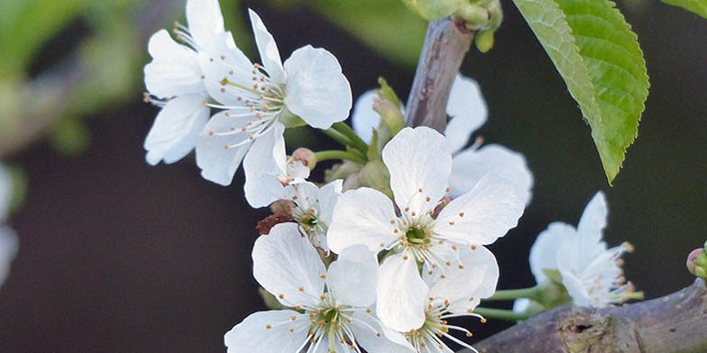 Tart cherry – description, flowering period and general distribution in Georgia. flowers close-up.