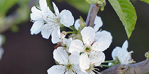 Prunus cerasus – description, flowering period and time in Arkansas, flowers close-up..