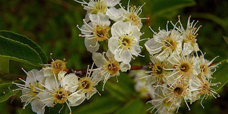 Prunus emarginata – description, flowering period and general distribution in Montana. Flowers on a branch close-up