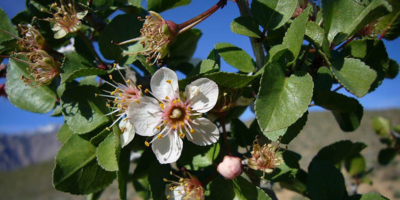 Desert apricot – description, flowering period. Flower close up