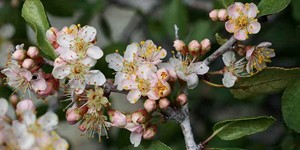 Prunus fremontii – description, flowering period and time in California, Shrub flowers, flowers and buds..