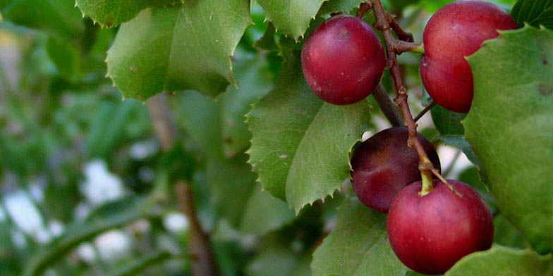 Holly-leaved cherry – description, flowering period. ripe berries and green leaves