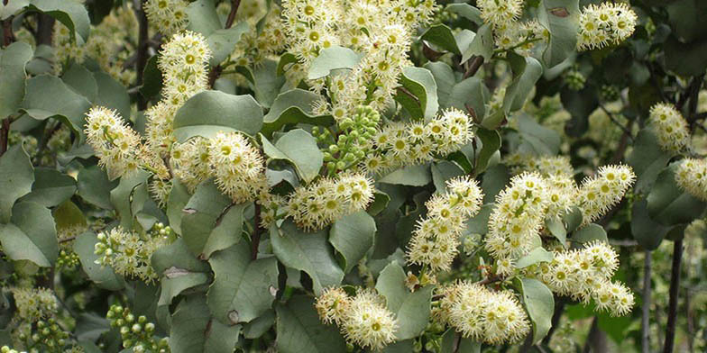 Holly-leaved cherry – description, flowering period. Flowers and leaves
