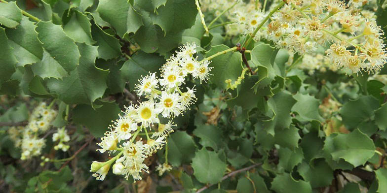 Holly-leaved cherry – description, flowering period. bunch of flowers