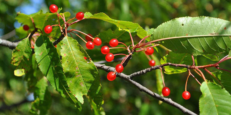 Bird cherry – description, flowering period. ripe fruit branch
