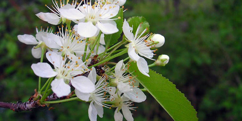 Bird cherry – description, flowering period. flowering branch close-up