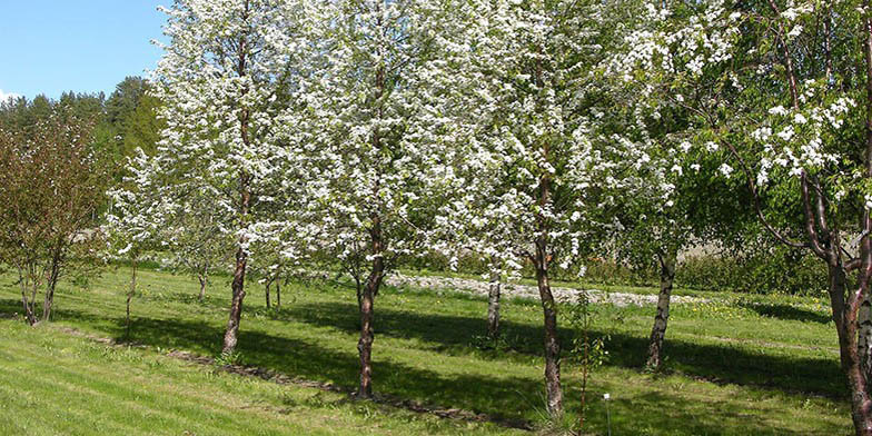 Bird cherry – description, flowering period. flowering young trees