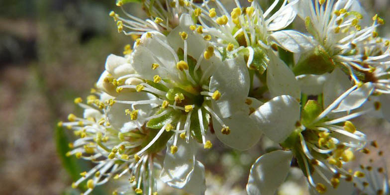 Great Lakes sandcherry – description, flowering period and general distribution in Vermont. Flowering plant