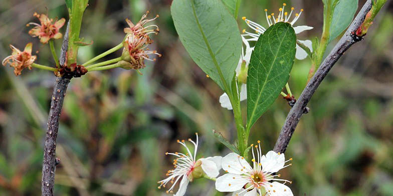 Great Lakes sandcherry – description, flowering period and general distribution in Vermont. Young, only blossoming and already blossoming flowers on a branch with green foliage.
