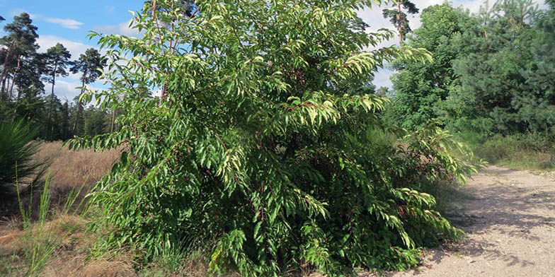 Prunus serotina – description, flowering period and general distribution in Ontario. young tree on the edge of the forest