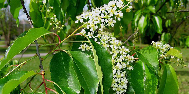 Prunus serotina – description, flowering period and general distribution in Ontario. Black cherry flowering branch