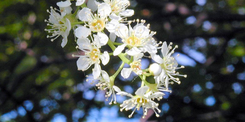 Prunus serotina – description, flowering period and general distribution in Ontario. Mountain black cherry flowers close up