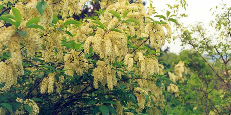 Western chokecherry – description, flowering period. branches in bloom