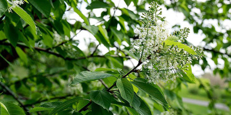 Western chokecherry – description, flowering period. cherry flowers began to blossom
