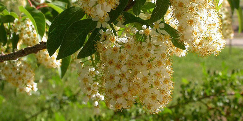 Western chokecherry – description, flowering period. flowering time is coming to an end