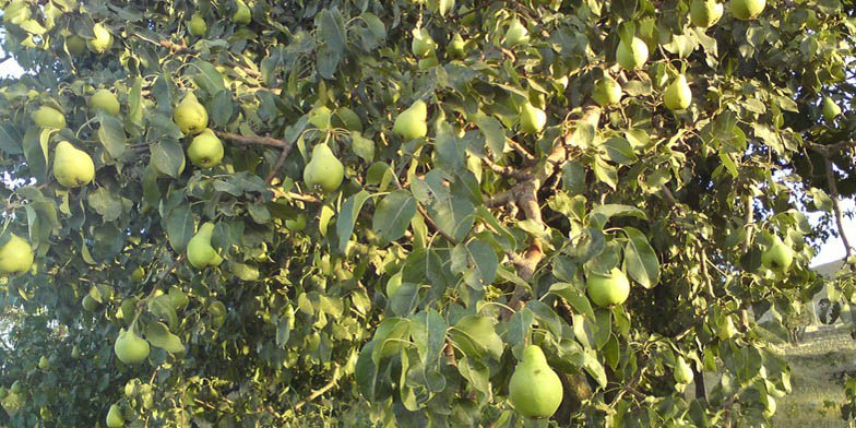 European pear – description, flowering period. Pear with fruits in the garden