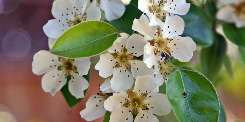 European pear – description, flowering period. Pear blossoms in white, inflorescence closeup