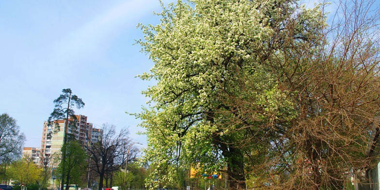 European pear – description, flowering period. Pear blossoms in the city