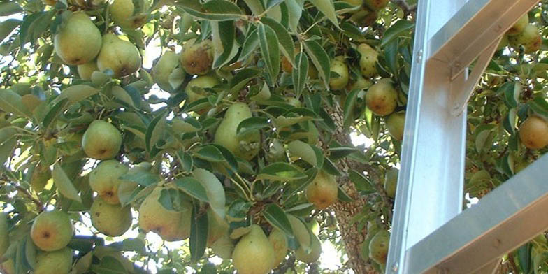 European pear – description, flowering period. Pear with large fruits, near the staircase