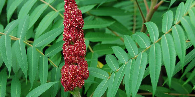 White sumac – description, flowering period. big red flower