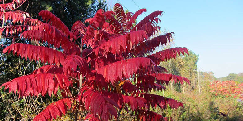 White sumac – description, flowering period. autumn leaves