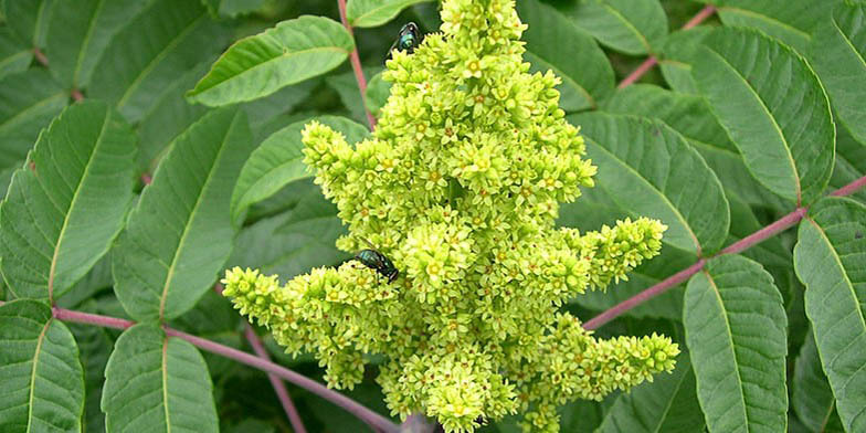 White sumac – description, flowering period. the beginning of flowering