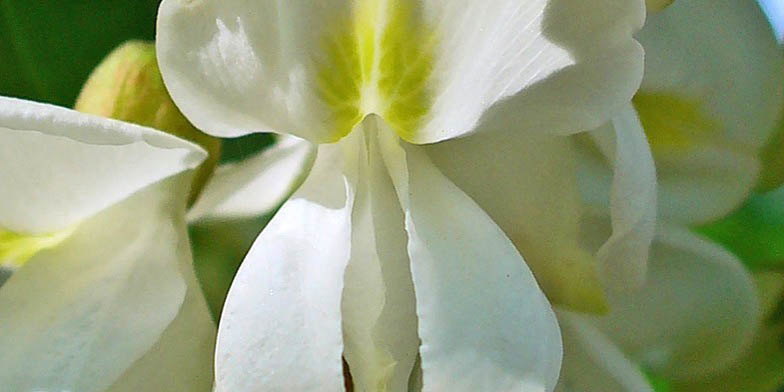 White locust – description, flowering period and general distribution in Arkansas. Flower closeup
