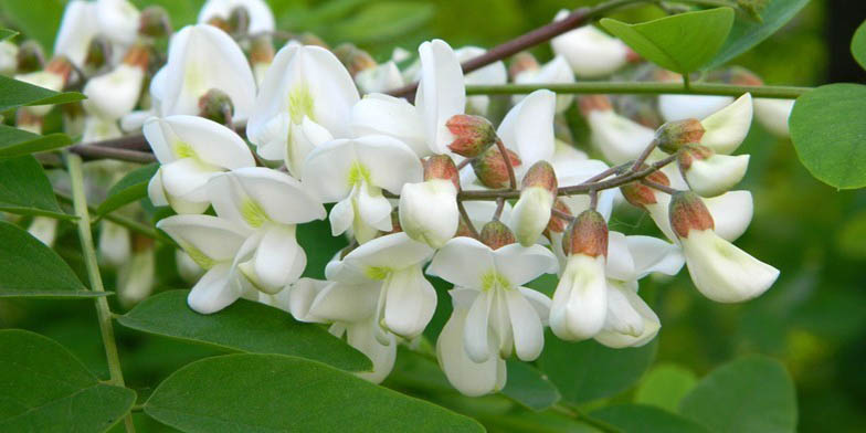 Black locust – description, flowering period and general distribution in Maryland. Branch with flowers