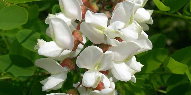 White locust – description, flowering period and general distribution in Arkansas. Flowers close-up