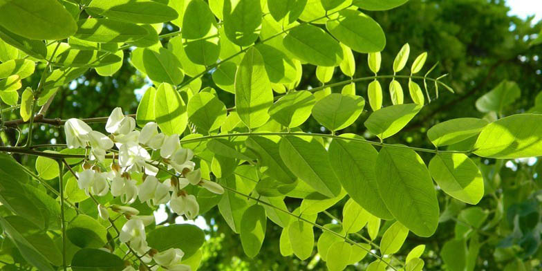 False acacia – description, flowering period and general distribution in District of Columbia. This spring honey plant having beautiful flowers and small, oblong leaves of a rounded shape