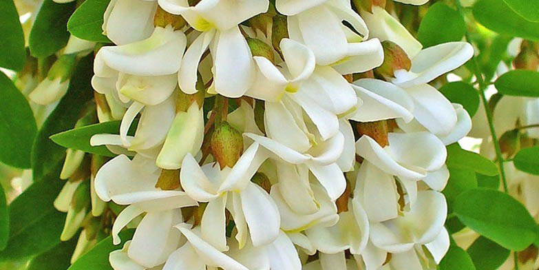 White locust – description, flowering period and general distribution in Arkansas. Flowers awaiting for bees