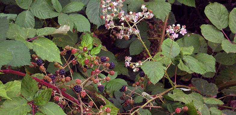 Rubus armeniacus – description, flowering period and general distribution in Montana. Himalayan blackberry blooming branch and branch with fruits