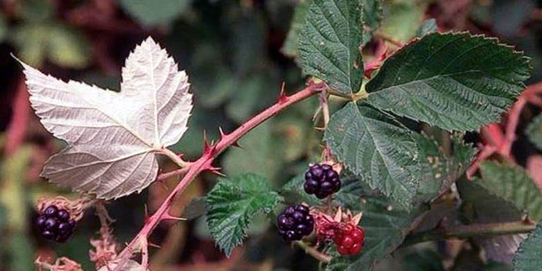 Rubus armeniacus – description, flowering period and general distribution in Montana. Himalayan blackberry fruits and spines