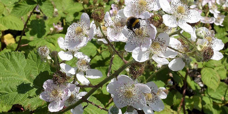 Rubus armeniacus – description, flowering period and general distribution in Montana. Rubus armeniacus (Himalayan blackberry) branch with flowers. Bumblebee collects nectar.